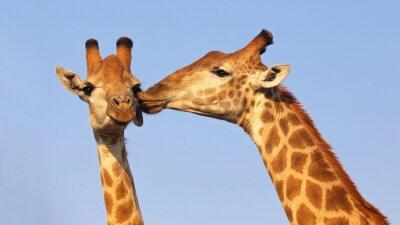 Plakat Całowanie Żyrafy