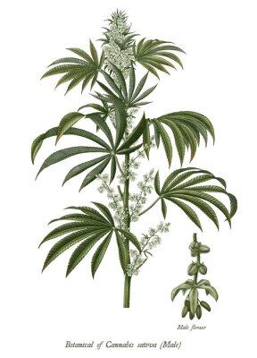 Plakat Cannabis sativa male tree botanical vintage engraving illustration clip art isolated on white background