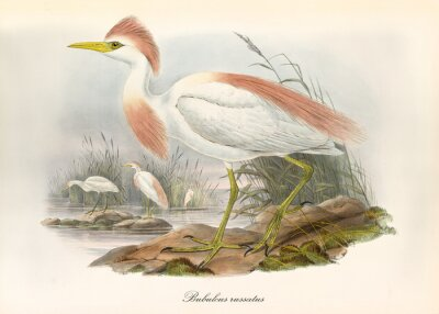 Plakat Cattle egret, profile view displayed, with its pinkyish crest in its acquatic natural environment. Old illustration of Cattle Egret (Bubulcus ibis). By John Gould publ. In London 1862 - 1873