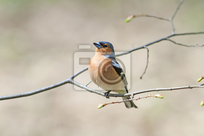 Chaffinch śpiewa na gałęzi w lesie wiosną
