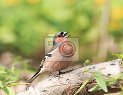 Chaffinch śpiewa na wiosnę Park w Sunny weather