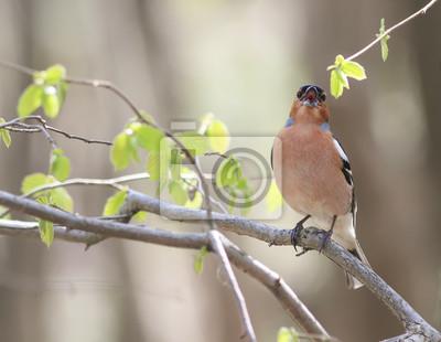 Chaffinch śpiewa piosenkę siedzącą na gałęzi Parku