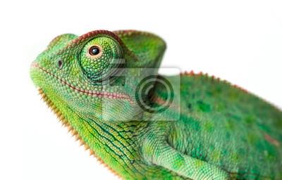 Plakat chameleon - Chamaeleo calyptratus on a branch isolated on white
