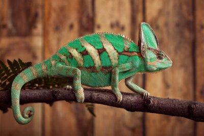 Plakat Chameleon na drewnianych backround