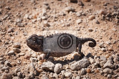 Plakat Chameleon na pustyni w Namibii, Afryki