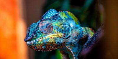 Plakat chameleon with amazing colors