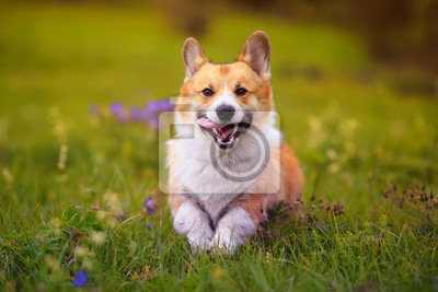 Plakat charming puppy dog Corgi runs merrily through the blooming green summer Sunny meadow sticking out his pink tongue