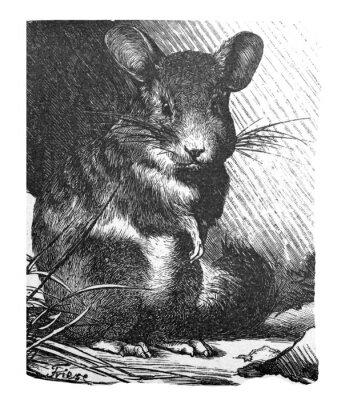 Plakat chinchilla lanigera (mouse) / Antique illustration from Brockhaus Konversations-Lexikon 1908