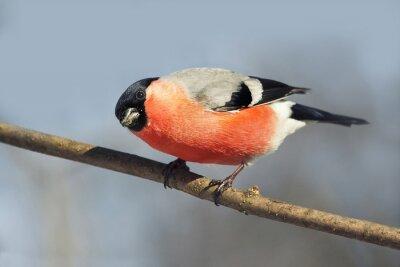 Christmas bullfinch ptak z czerwonym brzuchem wygląda ciekawie siedzi na gałęzi w zimie