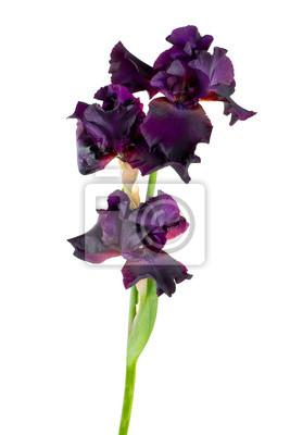 Plakat ciemny fioletowy kwiat irys samodzielnie na biały