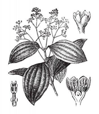 Plakat Cinnamon plant (Cinnamomum verum) / vintage illustration from Brockhaus Konversations-Lexikon 1908
