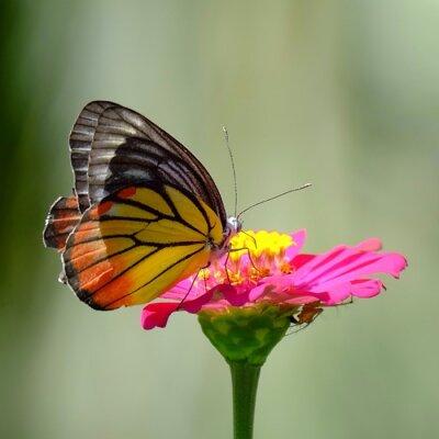 Plakat Close-up motyl na różowy kwiat