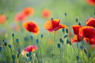 Plakat Close up od poppy flower