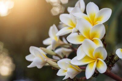 Plakat Close-up Of Frangipani Blooming Outdoors