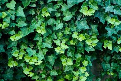 Plakat Close-up Of Ivy Growing Outdoors