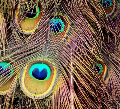 Plakat Close-up Of Peacock Feathers