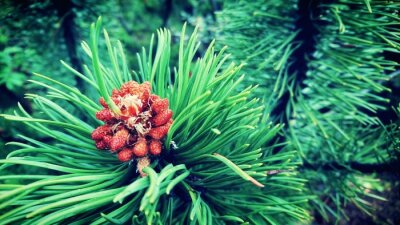 Plakat Close Up Of Pine Cone On Tree