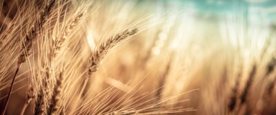 Plakat Close-up Of Ripe Golden Wheat With Vintage Effect, Clouds And Sky - Harvest Time Concept