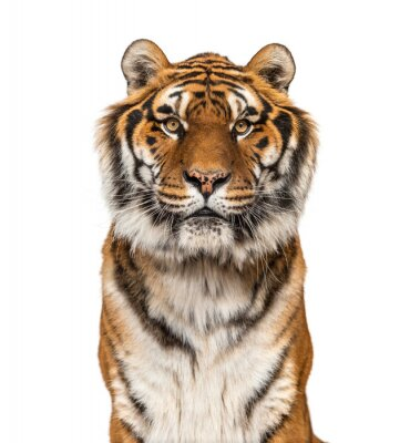 Plakat Close-up on a male tiger facing at the camera, big cat, isolated on white