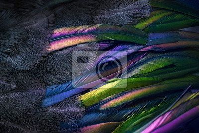 Plakat Close up photo of shimmered feathers of paradise bird. Abstract background with black fluff and colorful plumage. Exotic tropical details.