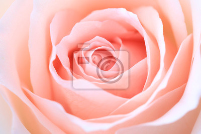 Plakat close up pink rose flower soft focus and copy space.