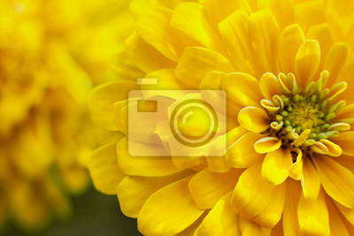 Plakat closeup beautiful yellow chrysanthemum flower in the garden, flower background
