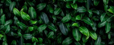 Plakat Closeup green leaves background, Overlay fresh leaf pattern, Natural foliage textured and background