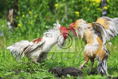 Cocky red rooster szyje białe w głowie podczas walki w gospodarstwie