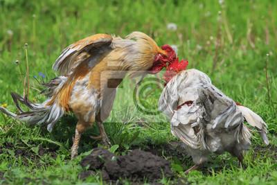 Cocky red rooster szyje białego w głowie podczas walki