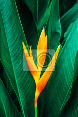 Plakat colorful exotic flower on dark tropical foliage nature background, tropical leaf