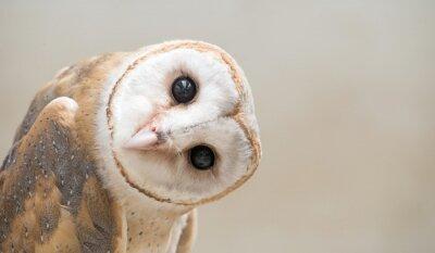 Plakat Common Barn Owl (Tyto albahead) bliska