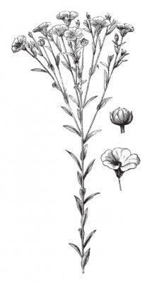 Plakat Common flax or linseed (Linum usitatissimum) / vintage illustration from Brockhaus Konversations-Lexikon 1908