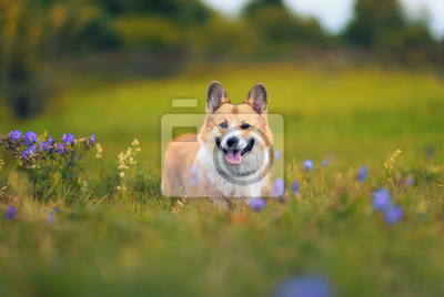 Plakat cute charming puppy dog Corgi fun walks through the blooming summer Sunny glade sticking out his pink tongue