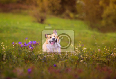Plakat cute charming puppy dog Corgi runs merrily through the blooming summer Sunny meadow sticking out his pink tongue
