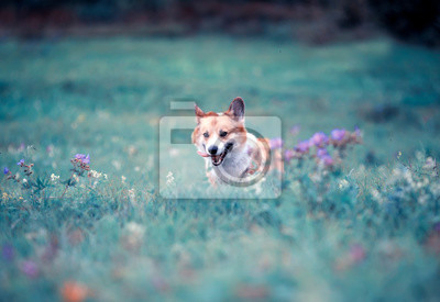 Plakat cute charming puppy dog Corgi runs through the blooming summer lilac Sunny meadow sticking out his pink tongue
