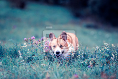 Plakat cute charming puppy dog Corgi walks through the blooming summer lilac Sunny glade sticking out his pink tongue