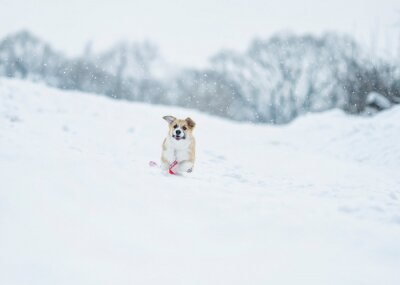cute ginger puppy dog Corgi runs on the white snow in the Park in winter for a walk running away with a leash