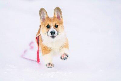 cute ginger puppy dog Corgi runs on white snow in Park winter on stroll funny raising hoisted