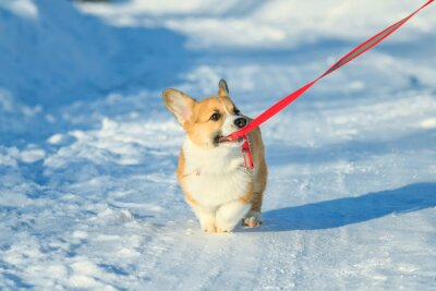 cute ginger puppy dog Corgi walks on white snow on road in Park winter and pulling ceasing teeth