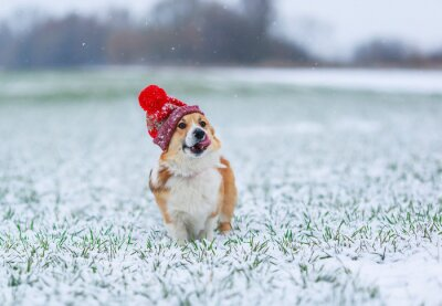 cute puppy dog Corgi sits on the field with grass on a winter day in a funny red knitted hat during a snowfall