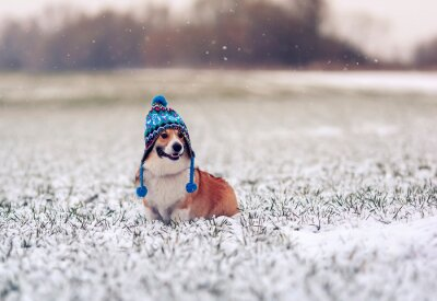 cute puppy dog Corgi sits on the field with green grass on a winter day in a funny knitted hat during a snowfall and smiling happily