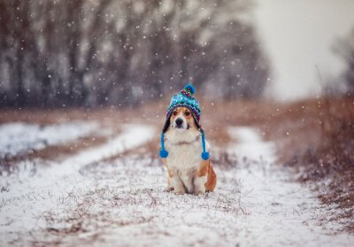 cute puppy red dog Corgi sits on a walk in a winter Park in a funny blue knitted hat with earflaps during a snowfall