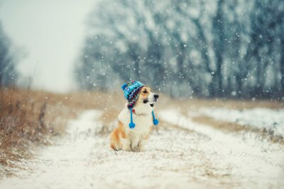 cute puppy red dog Corgi sits on a walk in a winter Park in a funny knitted hat with earflaps during a snowfall