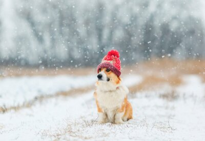 cute puppy red dog Corgi sits on the field in the winter day in a funny knitted hat during a snowfall