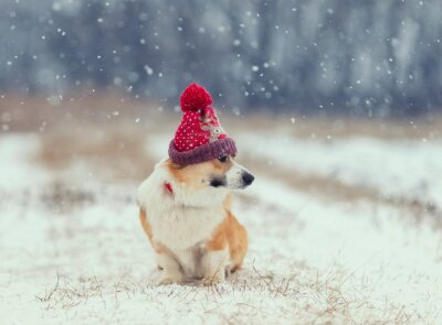 cute puppy red dog Corgi sits on the field on the walking in a winter day in a funny  knitted hat during a snowfall