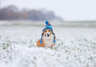 cute puppy red dog Corgi sits on the field with grass in a winter day in a funny blue knitted hat with earflaps during a snowfall