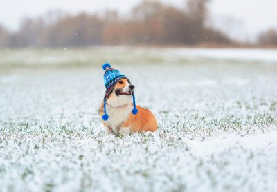 cute puppy red dog Corgi sits on the field with green grass on a winter day in a funny knitted hat during a snowfall