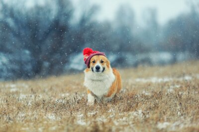 cute puppy red dog Corgi walk on Paul in a winter day in a funny red knitted hat during a snowfall