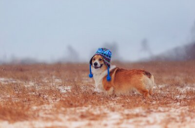 cute puppy red dog Corgi walks on a field in a winter day in a funny blue knitted hat with earflaps during a snowfall