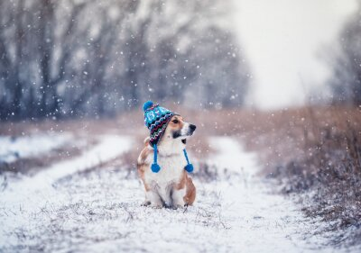 cute  red dog Corgi sits on a walk in a winter Park in a funny blue knitted hat with earflaps during a snowfall